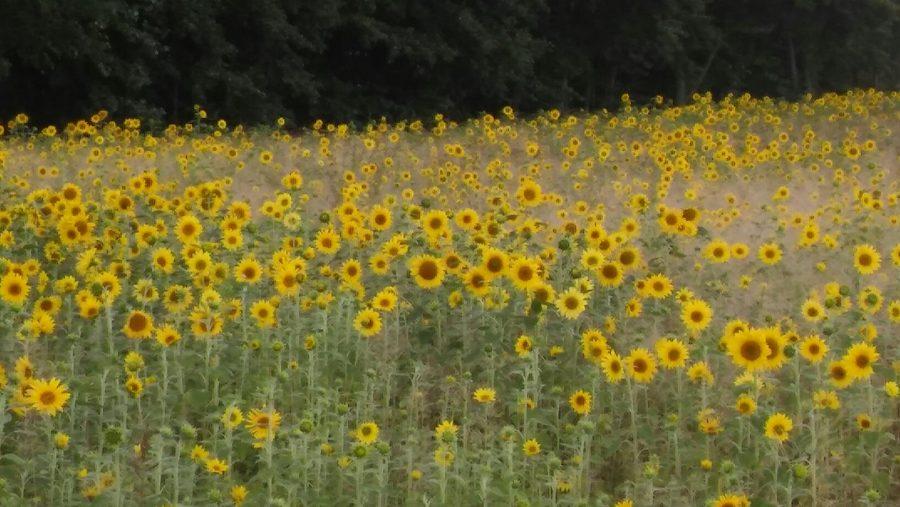 Słoneczniki, foto: Maria Duszka